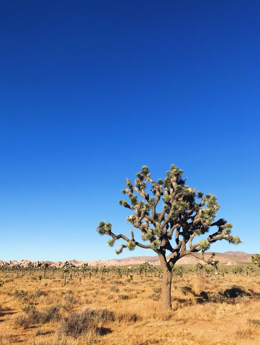 Joshua Tree | Delightful Crumb